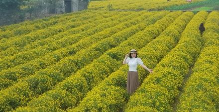 Rực sắc vàng hoa cúc tiến vua đón mùa xuân về